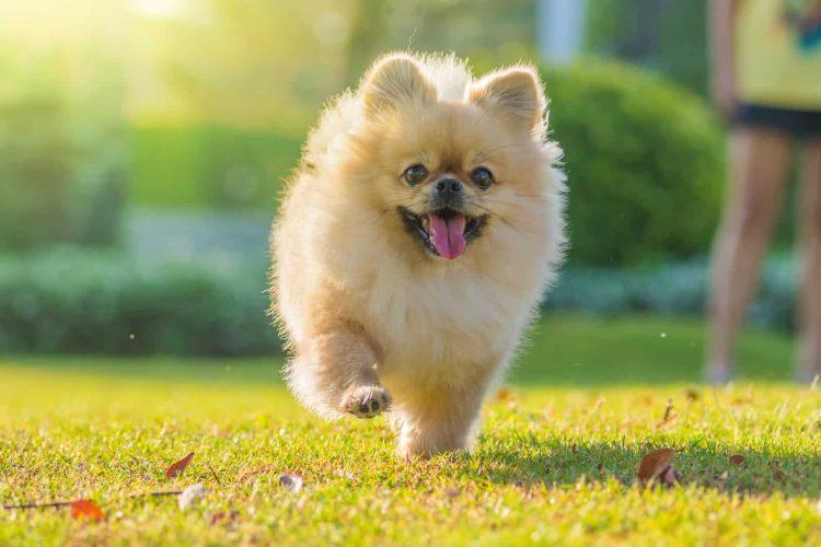 The Pomeranian Breed